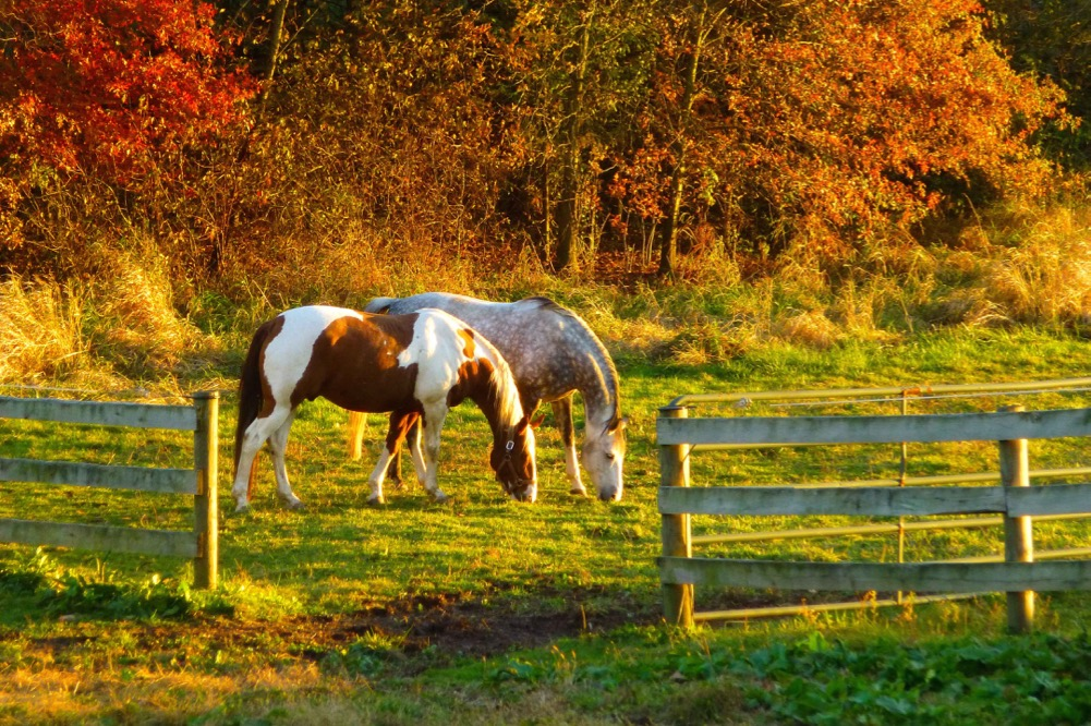 A couple of horses graze peacefully at sunset on a calm colorful autumn day.